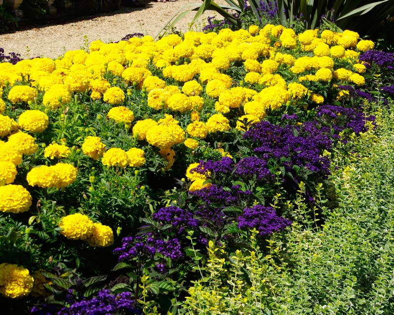Tagetes erecta used to powerful effect at Waddesdon Manor, UK