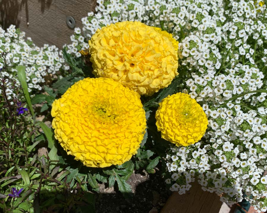 Tagetes erecta - the garden favourite Marigold.