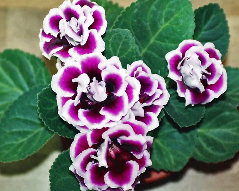 Gardensonline Sinningia Speciosa Hybrids