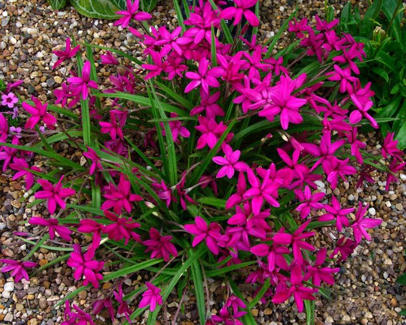 Gardensonline rhodohypoxis baurii rhodohypoxis baurii var baurii deep pink flowers mightylinksfo