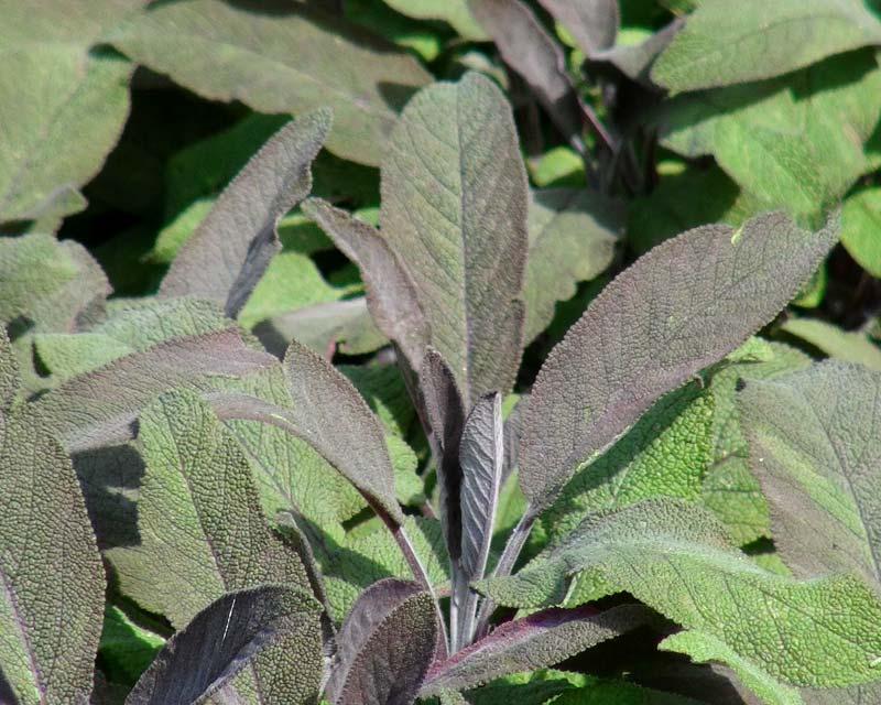 Salvia officinalis Purpurea - Purple Leaf Sage