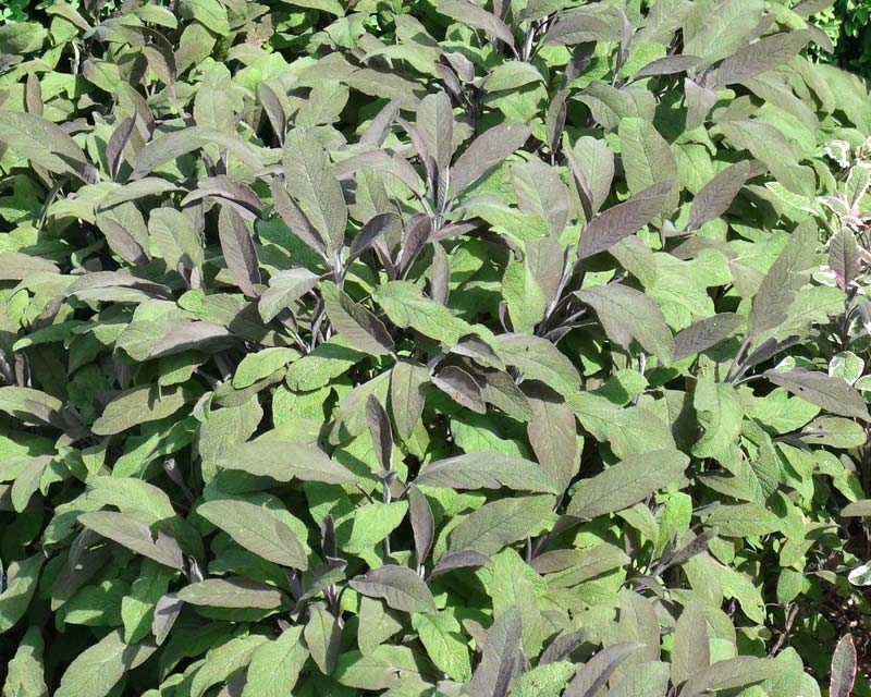 Salvia officinalis Purpurea - Purple Leaf Sage has purple leaves that make a great contrast in your herb garden