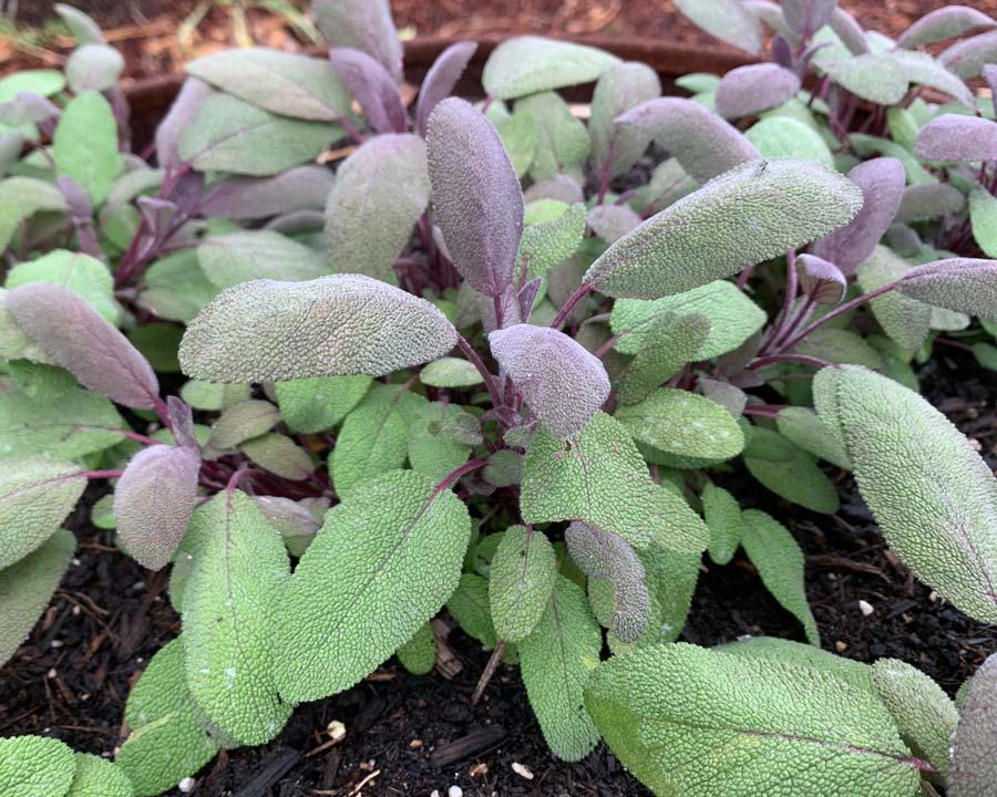 Salvia officinalis 'Purpurascens' - Purple Leaf Sage