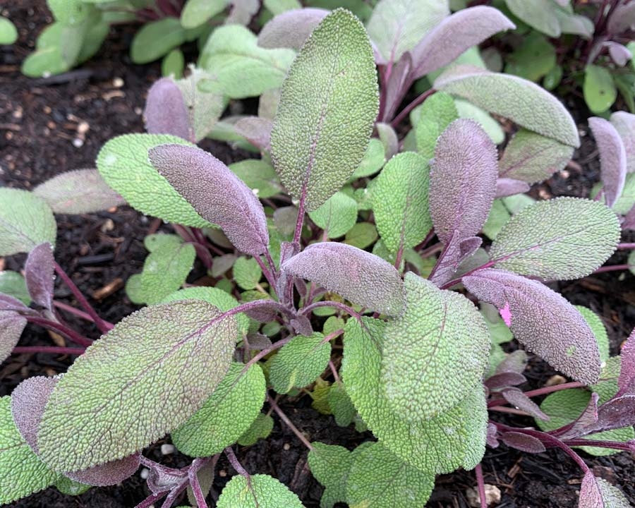 Salvia officinalis 'Purpurascens' - Purple Leaf Sage has purple leaves that make a great contrast in your herb garden