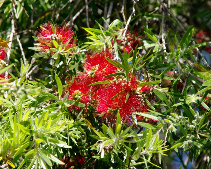 Callistemon viminalis 'Dawson River Weeper' in spring
