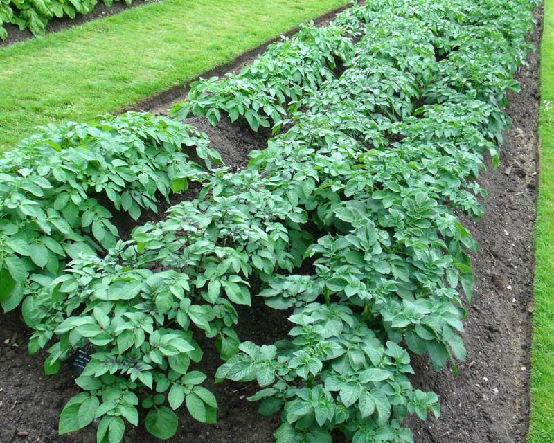 Solanum tuberosum, Potato, growing at Kew Gardens