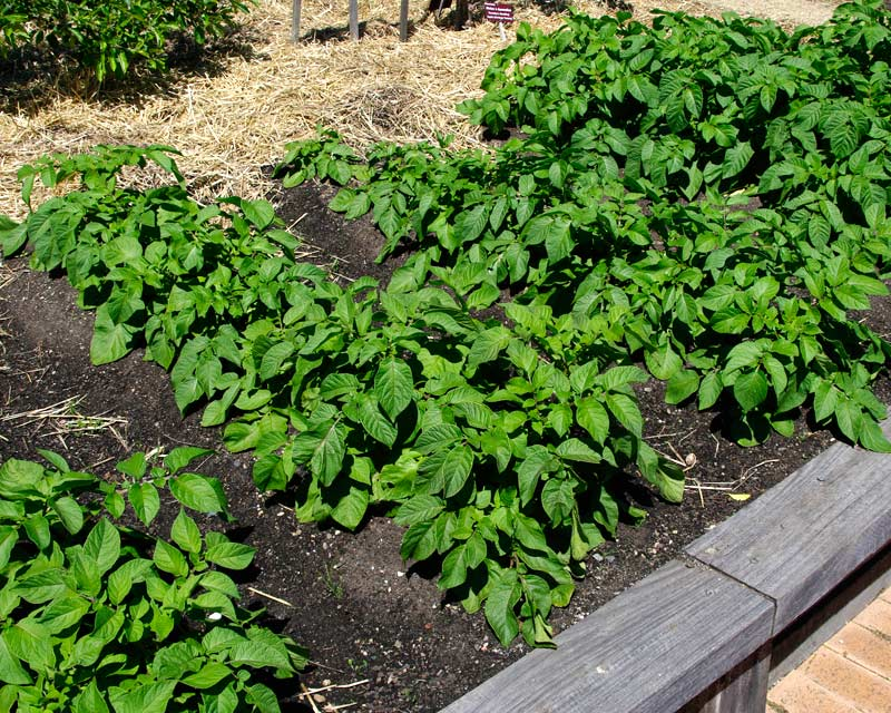 Potatoes as they should be grown being earthed up for moisture retention.