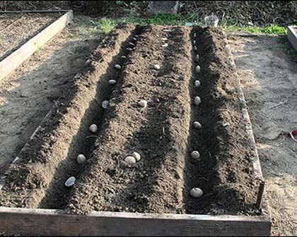 Solanum tuberosum - how to plant them