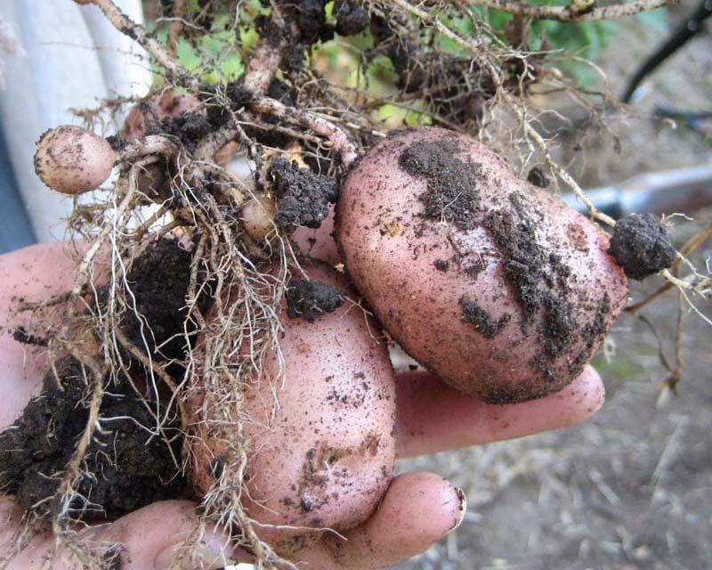 Solanum tuberosum - freshly dug