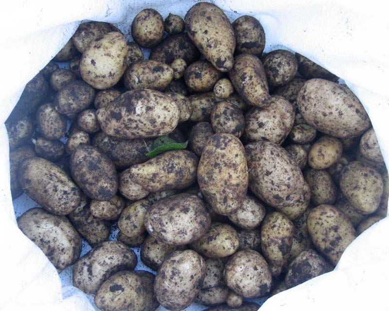 Solanum tuberosum - they'll store for extended periods in cool, dim and dry environments