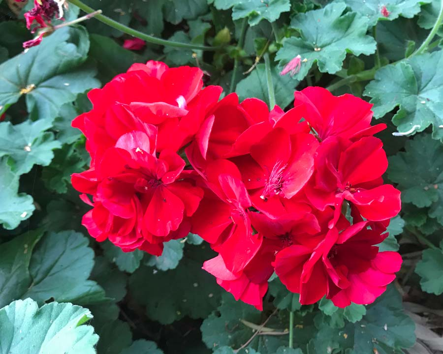 Zonal Pelargonium with deep red flowers