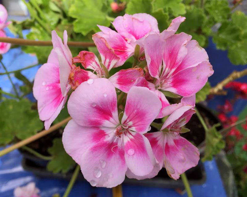 Pelargonium x hortorum or Zonale hybrid - Kristiana is compact and early flowering with single pink flowers