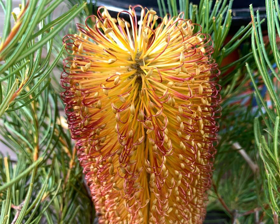 Banksia spinulosa, Hairpin Banksia