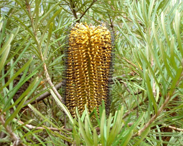 Banksia spinulosa. Hairpin banksia