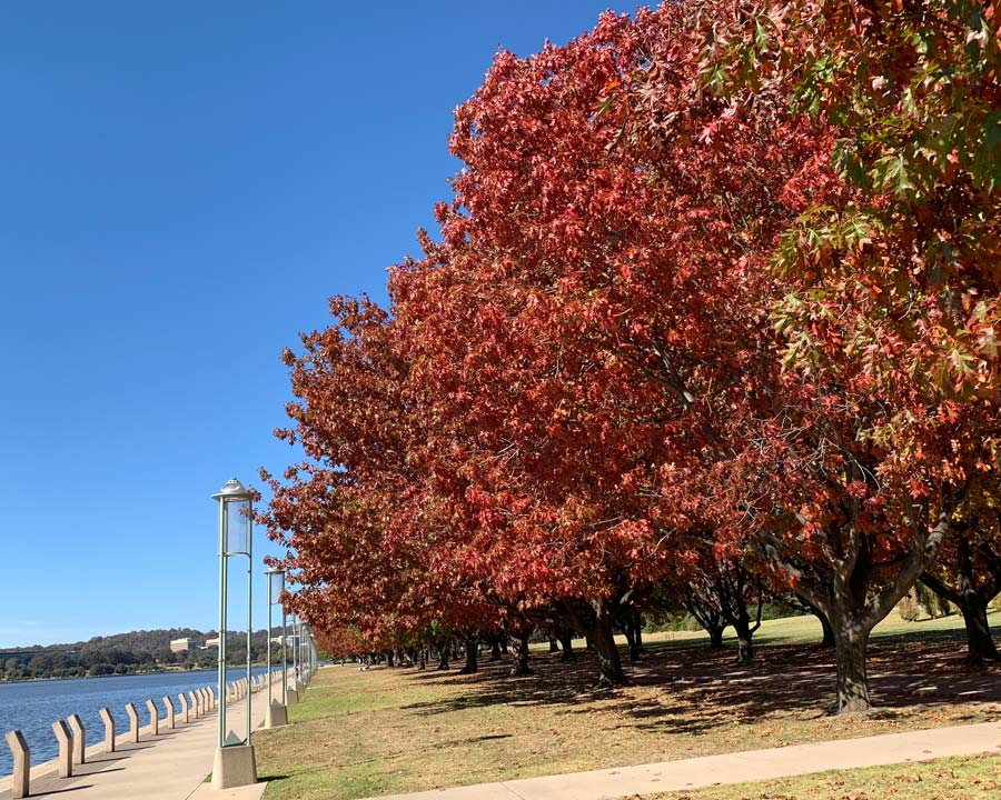 Quercus rubra - the leaves turn brilliant red in autumn