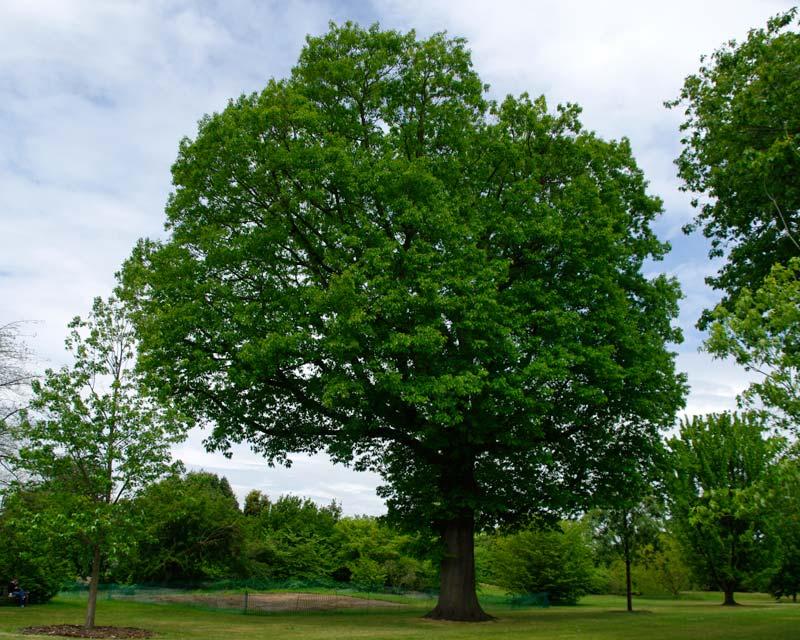 Quercus rubra - grows into a massive tree - Kew Gardens