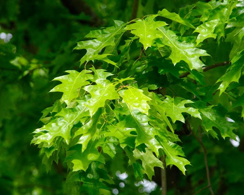 Quercus rubra or Red Oak