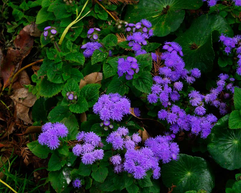 Ageratum houstonianum has pretty fluffy blue-mauve flowers