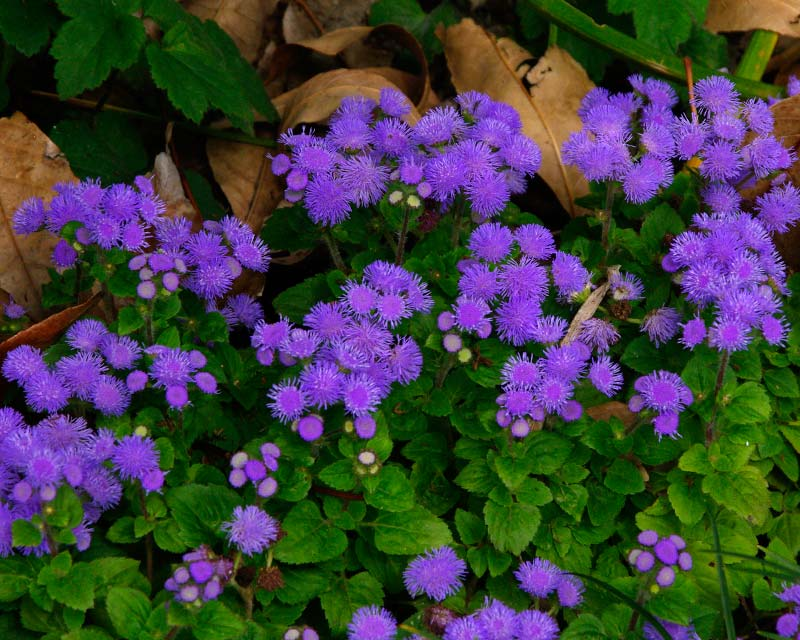 Ageratum houstonianum - Floss Flower