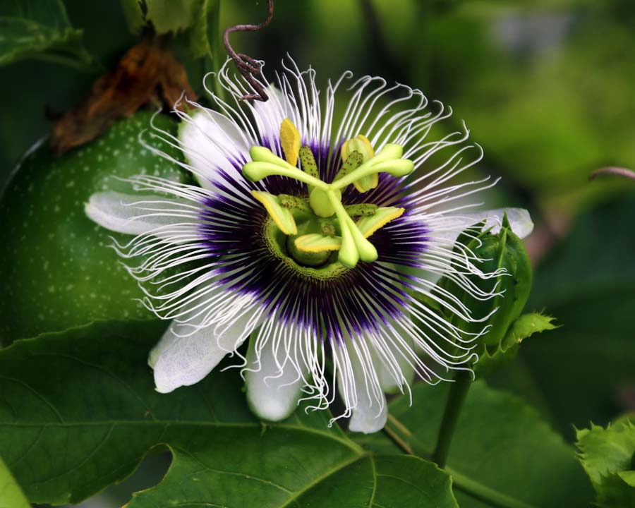 Passiflora edulis - the Passionfruit flower