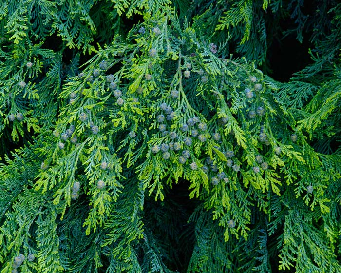 Chamaecyparis lawsoniana. Thick and attractive foliage