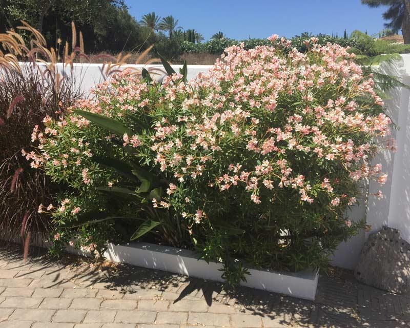 Nerium Oleander Dwarf variety