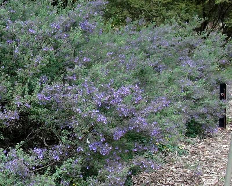 Prostanthera rotundifolia, the Round Leafed Mint Bush