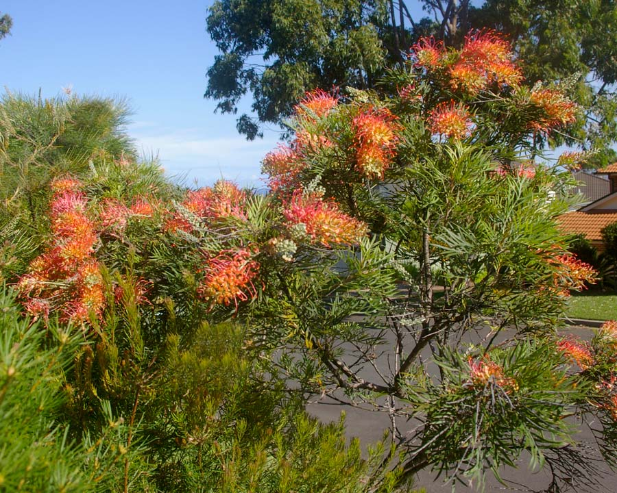Grevillea Superb - an excellent bird attractor to any garden