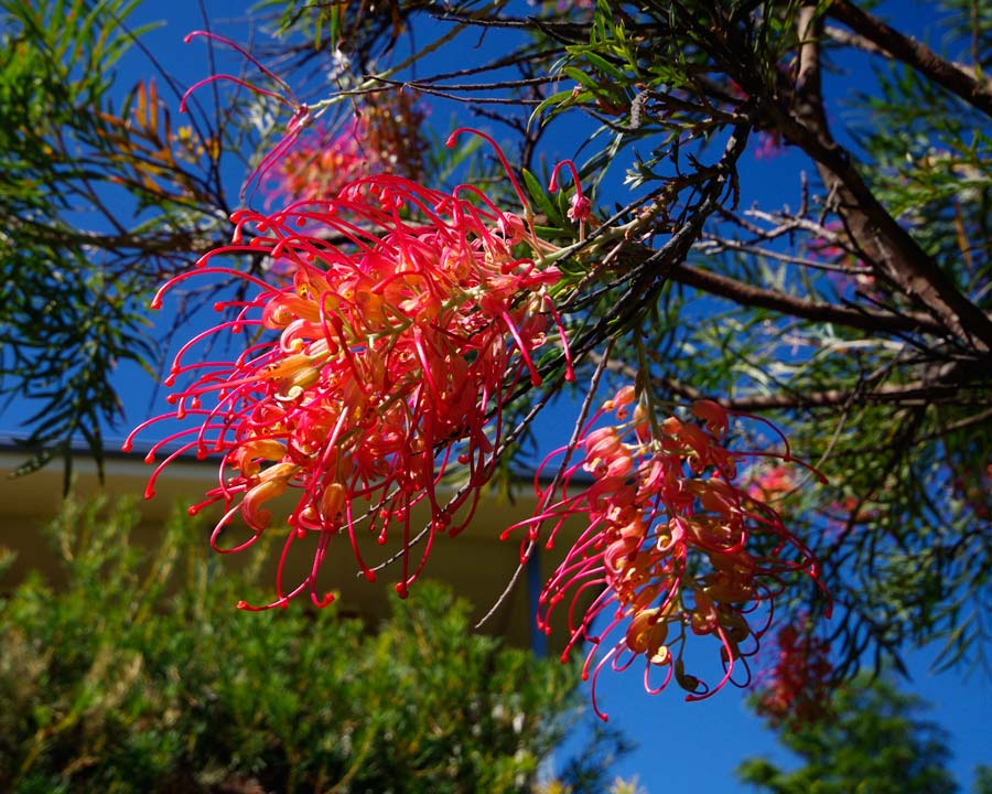 Grevillea Superb - against a perfect autumn blue sky