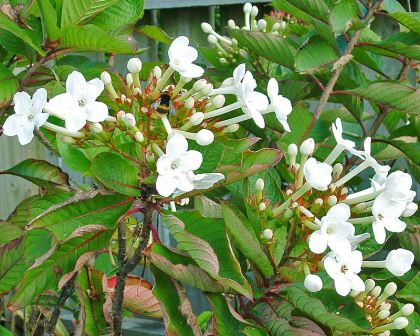 Gardensonline luculia grandifolia luculia grandifolia clusters of white trumpet shaped flowers photo by moriori mightylinksfo