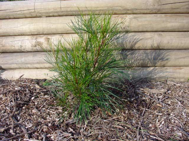 A freshly planted Grevillea johnsonii