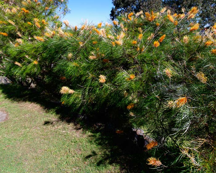 Grevillea x Honey Gem - makes a very showy hedge