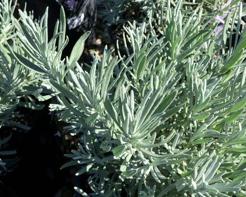 gardensonline lavandula angustifolia. Black Bedroom Furniture Sets. Home Design Ideas