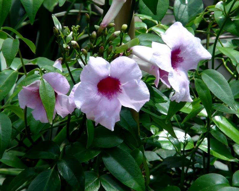 Pandorea Jasminoides  Pink trumpet shaped flowers with deep pink throats
