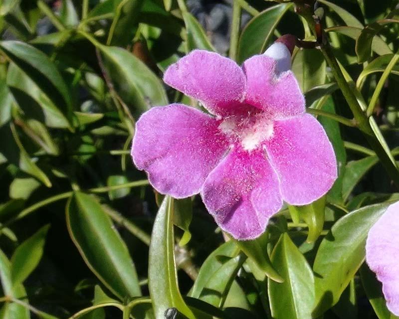 Pandorea Jasminoides Southern Belle