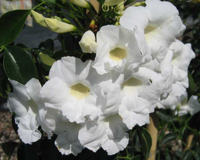 Pandorea jasminoides Alba
