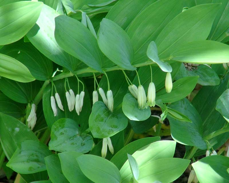 Polygonatum odoratum has white scented flowers with green tips