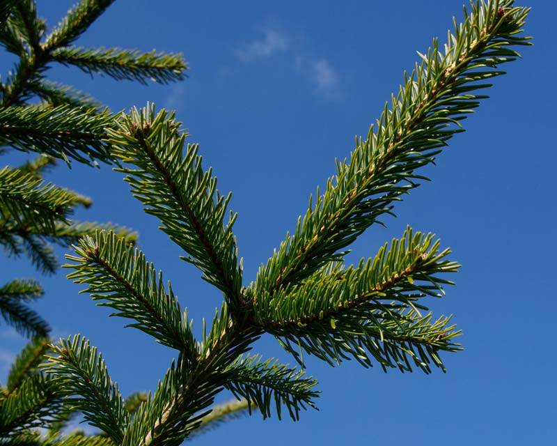 Abies nordmanniana in close up