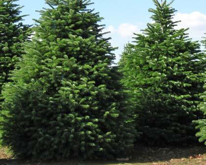Abies nordmanniana, lush and soft foliage