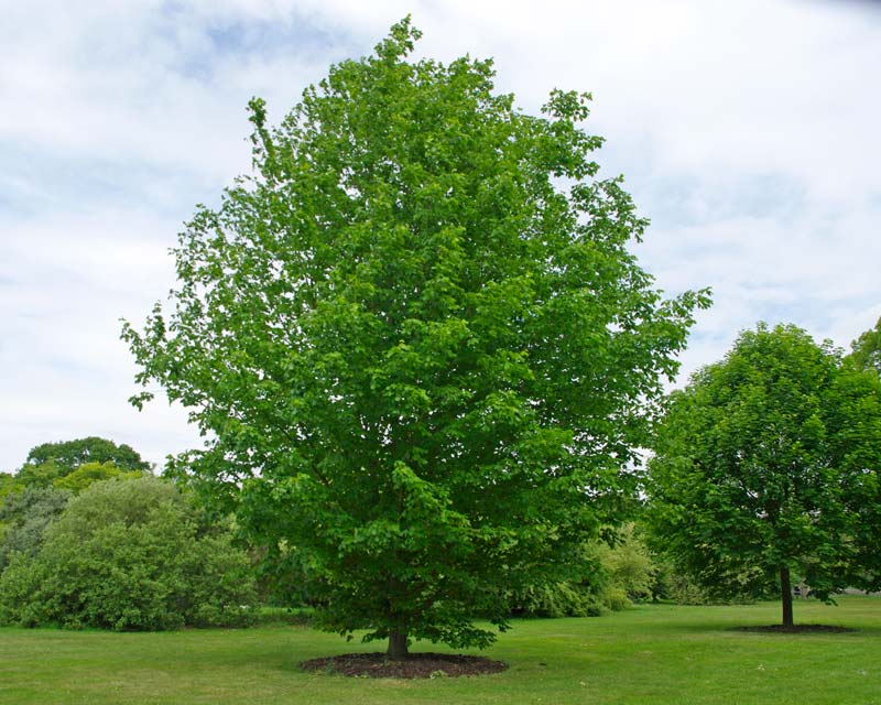 Acer Saccharum subsp Nigrum