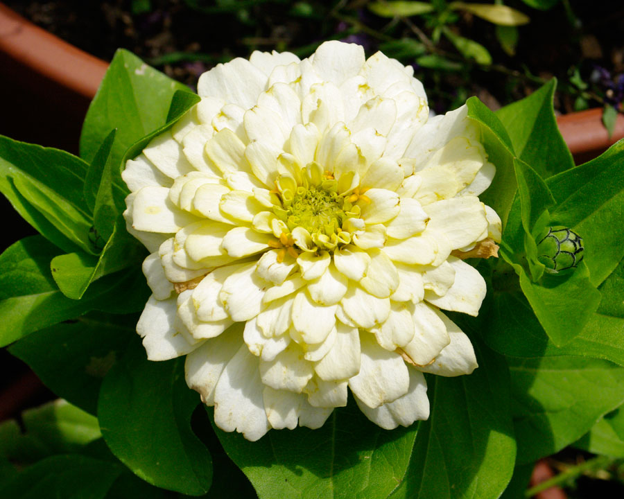 Zinnia elegans - double cream flower