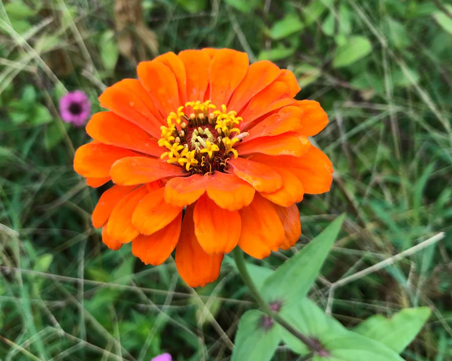 Zinnia elegans single orange