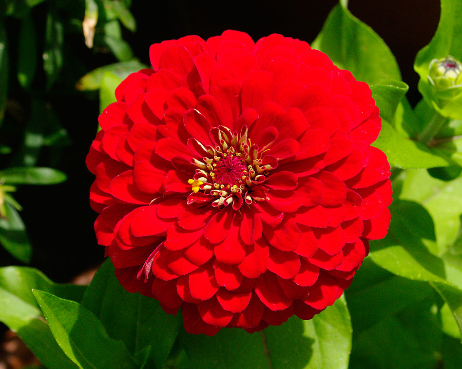 Zinnia elegans - double red flower