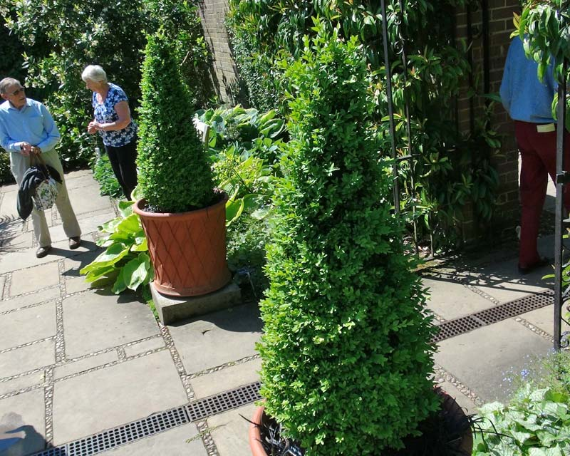 Buxus sempervirens - the best for topiary, can be cut to just about any shape