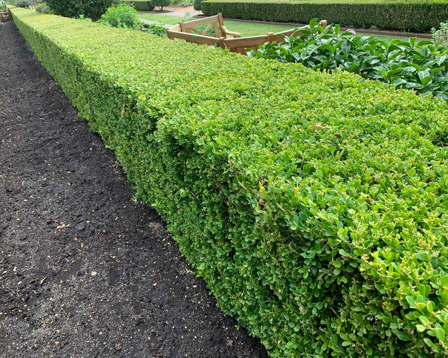 Buxus sempervirens, English Box for sharp hedges.
