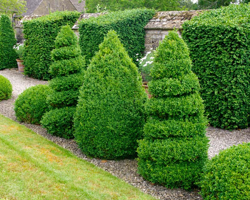 Buxus sempervirens, the first choice for topiary