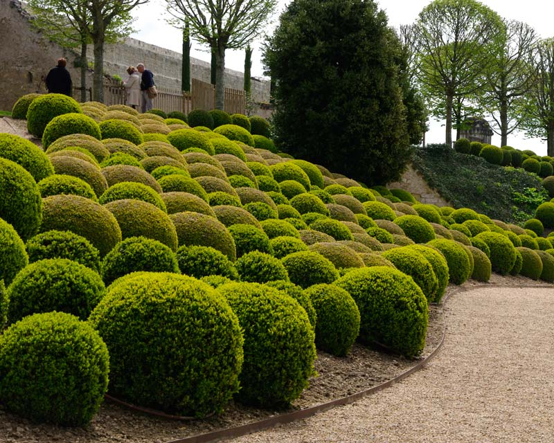 The French make so much use of Buxus sempervirens, being masters of topiary gardens, like this one at Ambois.