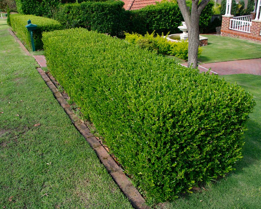 English box hedge - buxus sempervirens