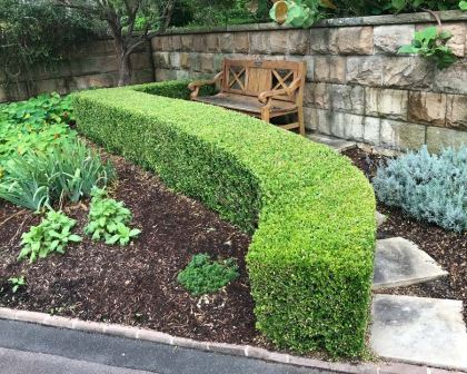 Buxus sempervirens, English Box