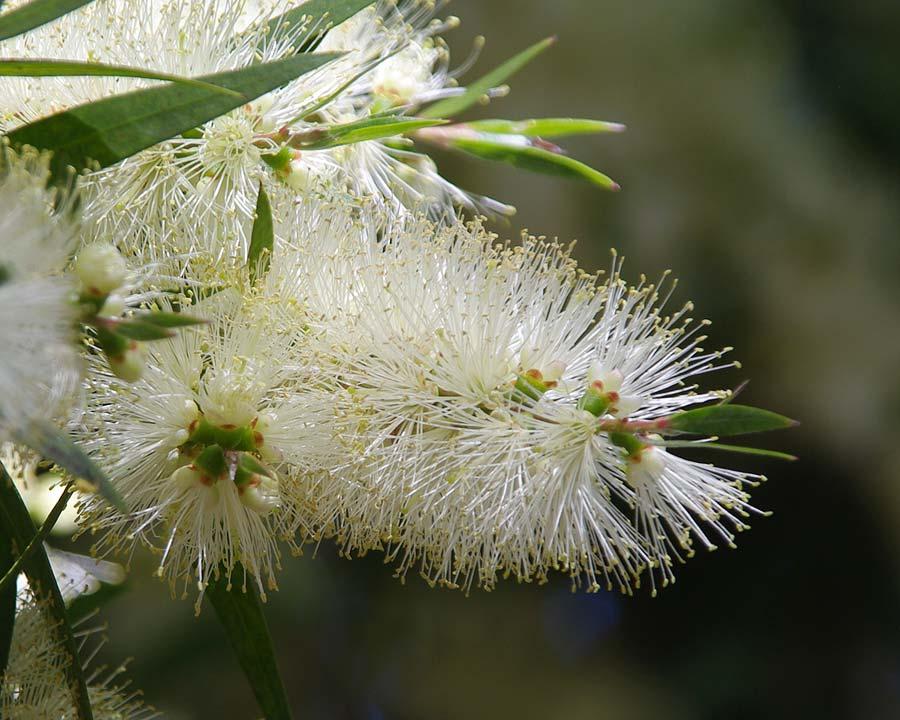 Callistemon citrinus White Anzac